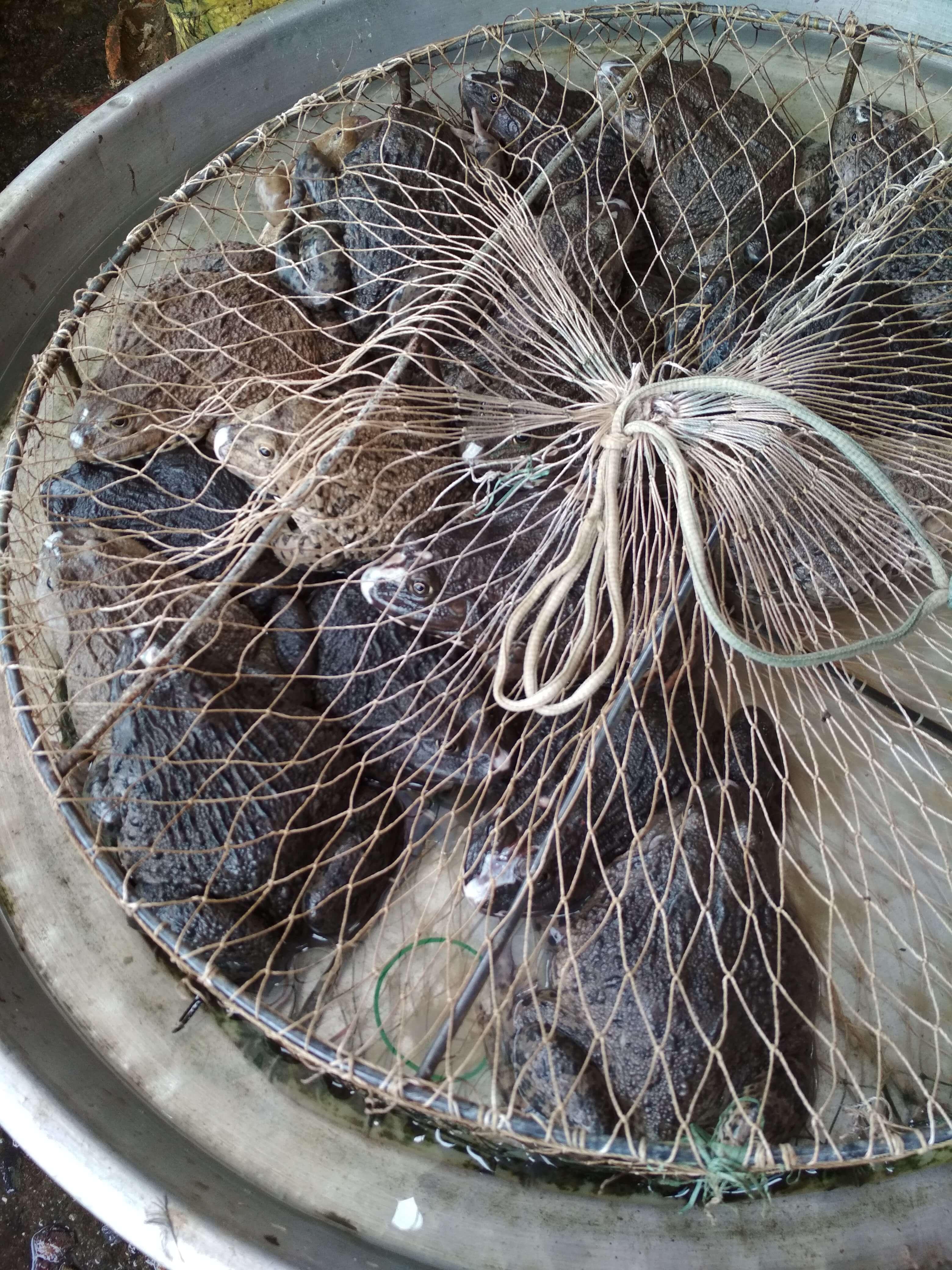 ベトナム市場カエル